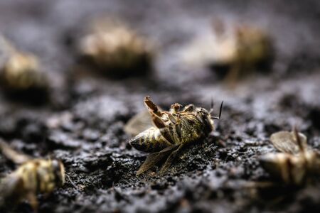 Use of pesticides in the environment and flowers. Macro image of a dead bee on a leaf of a declining beehive, plagued by the collapse of collapse and other diseases.