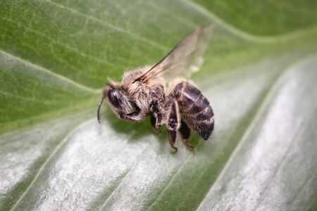 Bee on extermination. Dead dead bee, conceptual image on pesticides and environmental risk.