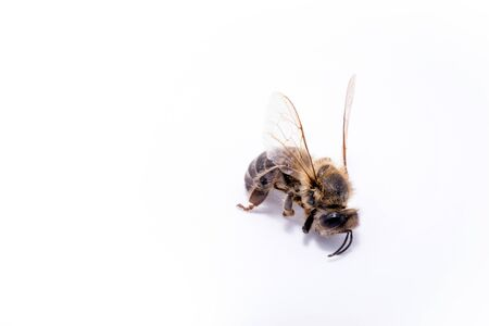 Bee on extermination, dead on the ground. Dead fallen bee on white background, conceptual image on pesticides and environmental risk.