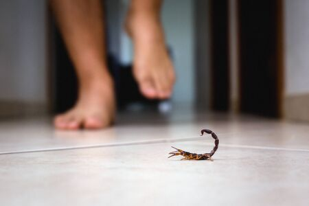 Scorpion indoors near a person. Person walking near a scorpion. Detection concept, brown or yellow scorpion, poisonous sting. Zdjęcie Seryjne