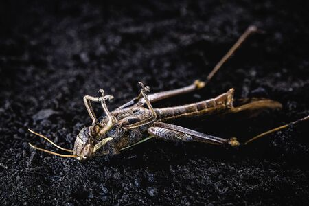 Grasshoppers, meridians, acrids, ticures or tucuras are insects. Some species form huge swarms that can devastate large crops. Dead insect in macro photography.