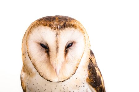 Photo of an owl in macro photography, high resolution owl cub photo. Owl of the Towers (Tyto furcata or Tyto alba), Also known as church owl. Face of an bird. Stock Photo