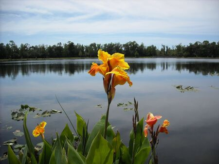 three orange irises next to a lake Banco de Imagens
