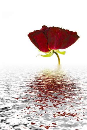 Pressed red rose on rippled water Stock Photo