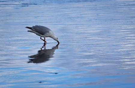 Seagull reflected in the shallows