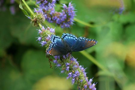 spotted: Red Spotted Purple Butterfly Stock Photo