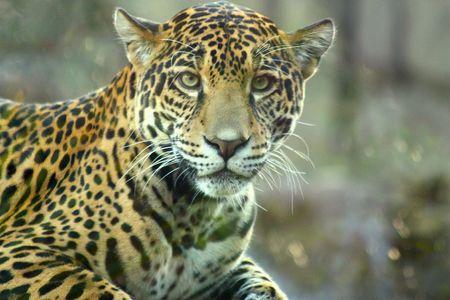 jaguar: Intense Jaguar stare
