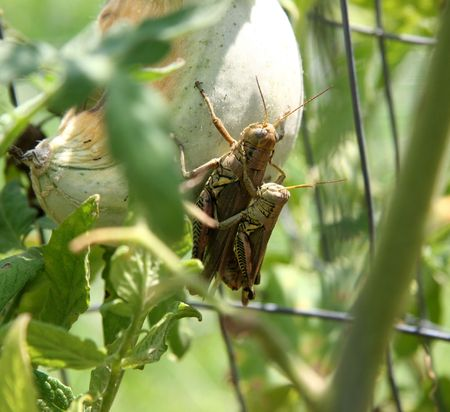 Close-up of mating grasshoppers. Stock Photo