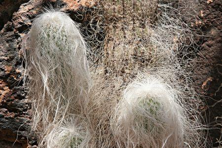 White hairy grandfather cacti shot close-up. Stock Photo