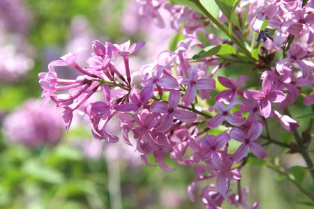 Close-up of purple lilac blossoms shot with shallow Dof focusing on flower cluster.