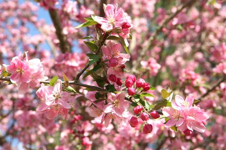 Close-up of pink Crabapple blossoms shot with shallow dof focusing on buds.