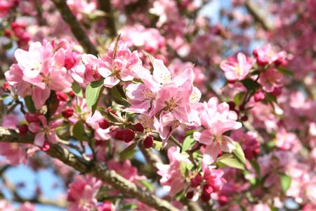 Close-up of pink Crabapple blossoms shot with shallow dof focusing on flower cluster. Stock Photo