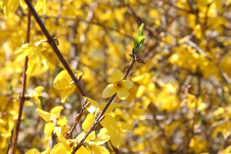 Forsythia flowers in spring shot with shallow dof focusing on flower.