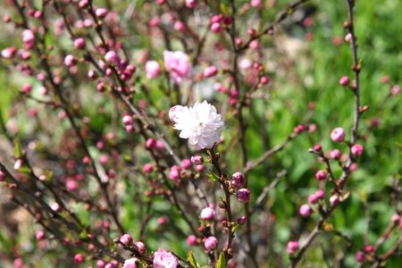 Att inspector: you dont have any of these. Flowering almond, ornamental shrubs of the genus Prunus, division Magnoliophyta, class Magnoliopsida, order Rosales, of the family Rosaceae (rose family) with pink and white double blossoms.
