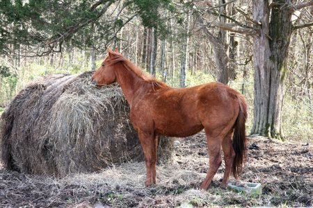 Honey colored horse eating hay with trees in background.
