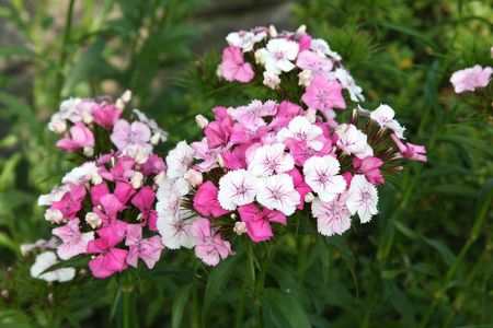 Pink and white and pink striped perennial phlox shot with shallow DOF. Stock Photo