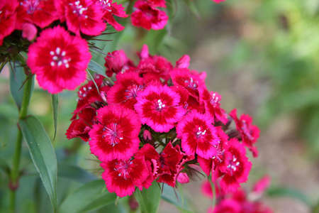 Pink and red perennial phlox shot with shallow DOF. Stock Photo