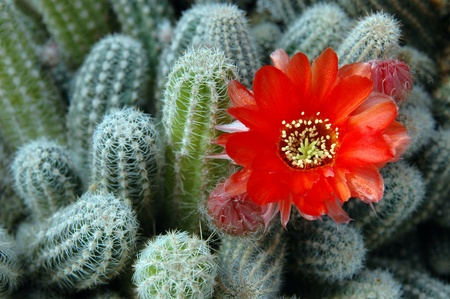 cactus flower: Cactus with orange flower