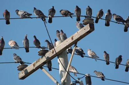Pigeons on a telephone pole and wires