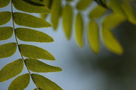 langosta: Acacia hojas con iluminación de fondo - el enfoque selectivo. Foto de archivo