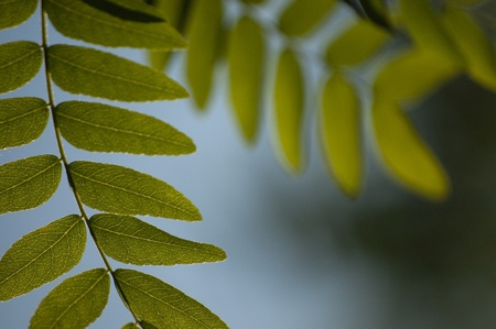 Honey Locust Leaves with backlighting - selective focus. Stock Photo