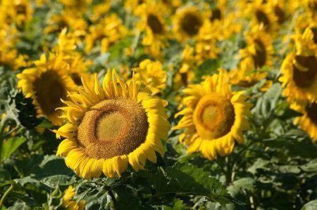 Sunflowers along Hwy 14 east of Pierre, South Dakota. Stock Photo