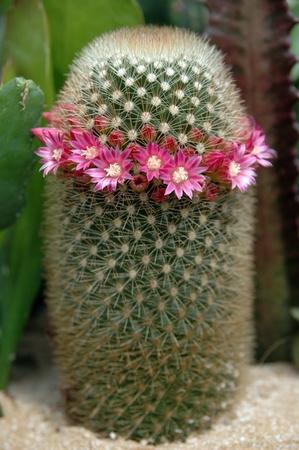 cactus species: Mammillaria cactus en flor. Flores de color rosa de una especie vegetal Mammillaria cactus. Foto de archivo