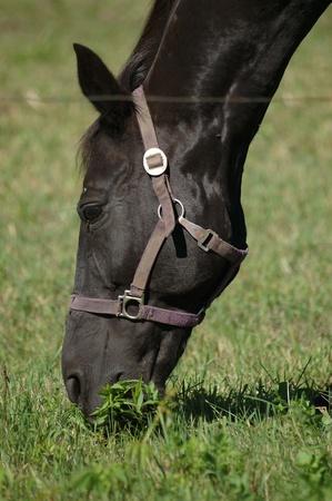 Black horse grazing in a field.