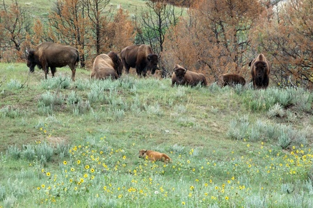 A young bison lies in the foreground with the rest of the herd looking on