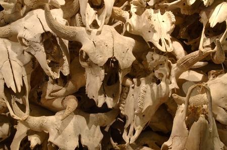 Buffalo skulls on display at Head-Smashed-In Buffalo Jump Interpretive Centre, at Fort Macleod, Alberta.