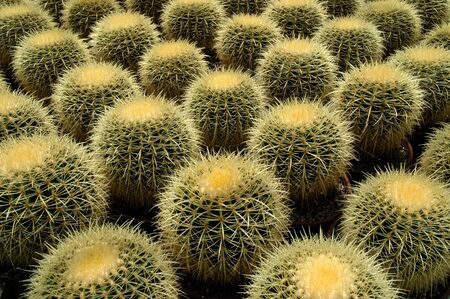 Collection of Golden Barrel Cactus - Echinocactus grusonii also known as Mother-in-Laws-seat. Stock Photo