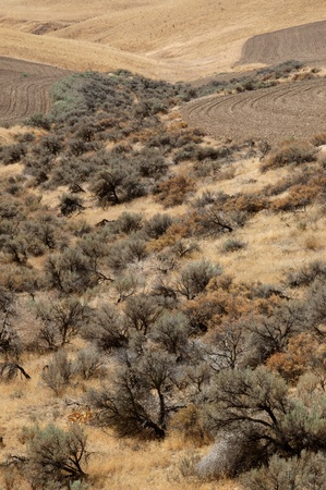 occupying: Sagebrush occupying the valley between two adjacent fields south of Mabton (Glade Road), Washington.