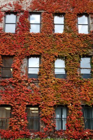 Ivy detail. Fall coloured ivy shot from the courtyard behind the Arts Building at the University of Ottawa. Editorial