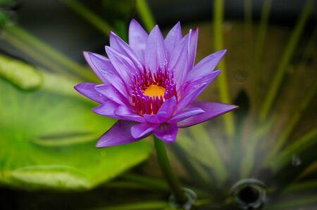 Purple Water Lily Wisley Gardens, England.