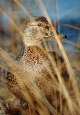 platyrhynchos: Female mallard duck, Anas platyrhynchos, in the grasses alongside the Ottawa River in Ottawa, Ontario.