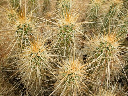 cactus species: Desert habitat photo of an Echinocereus species (hedgehog cactus) in Arizona. Stock Photo