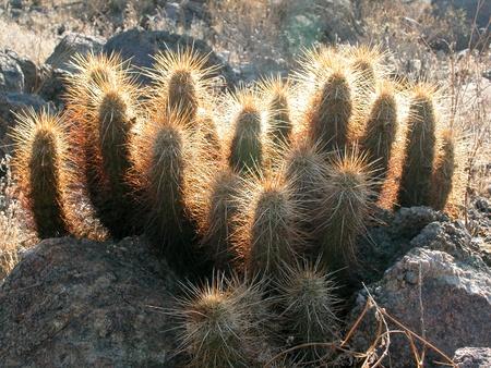 Desert habitat photo of an Echinocereus species (hedgehog cactus) in Arizona. Stock Photo
