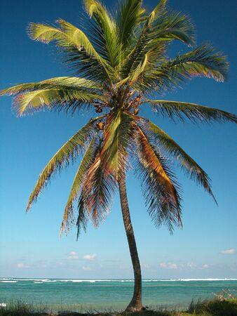 Palm Tree at Punta Cana, Dominican Republic