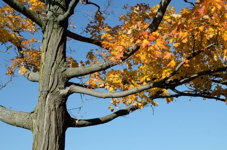 Looking upwards into the foliage of a large tree displaying autumn colour. Stock Photo