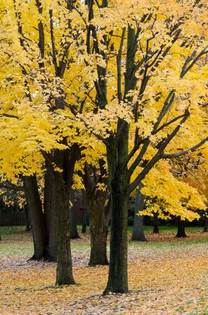 Group of trees with yellow foliage in autumn.
