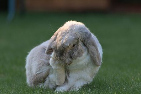 Patch of sunlight hits the side of this lop rabbits face as he sits on the lawn and grooms his back foot