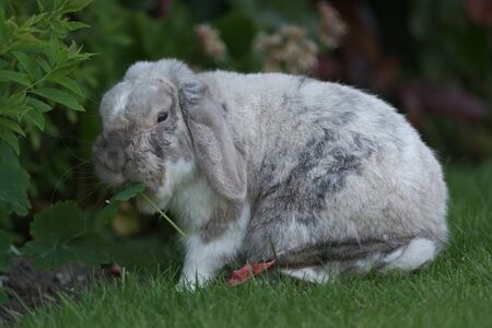 Pet white, grey and brown lop eared bunny rabbit eats greenery in the garden Фото со стока