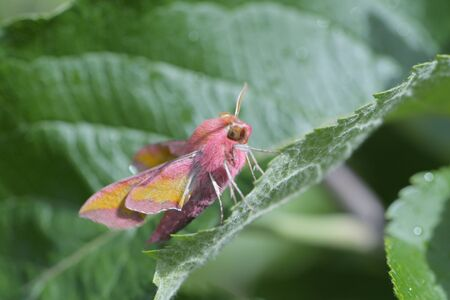 natural sunlight hits this colorful small elephant hawk moth and the furry leaf and surroundings it is perched amongst.