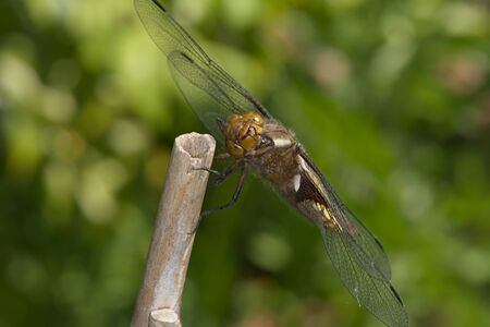Female broad bodied chaser dragonfly of the order Odonata looks directly at the camera as she grooms her face. Soft green natural background. 写真素材