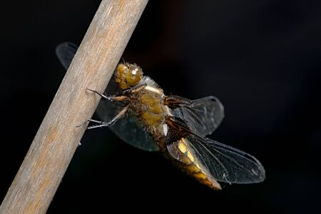 Female broad bodied chaser dragonfly stands out against the dark background with front legs part raised. Face and large compound eye clearly visible.