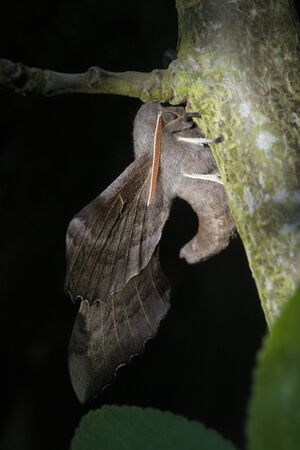 Hanging from a thick branch, this large adult poplar hawk moth displays its large wings, curved body, bright antennae and face. Dappled sunlight.