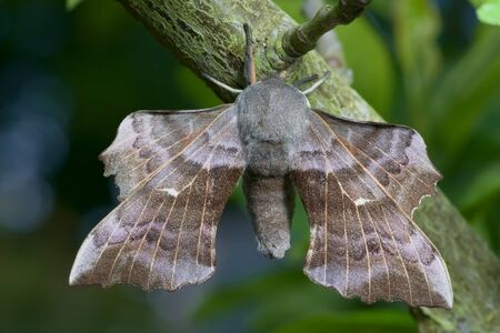 Poplar hawk moth is well lit, showcasing its intricate wing detail as it hangs from a thick lichen covered branch. daytime creamy blue and green background.
