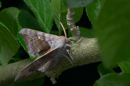 Vibrant orange antennae contrast from the surrounding greenery and the large purple grey body and wings of this poplar hawk moth. Front side portrait.