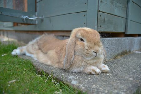 Young sandy orange lop rabbit lies relaxed on stone slab instead of grass to cool off next to her teal shed. Imagens