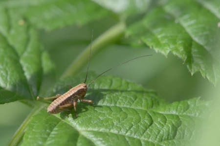 Medium shot of a dark bush cricket, Pholidoptera griseoaptera, on the leaf of a raspberry plant. Plenty of copy space and a very green background.